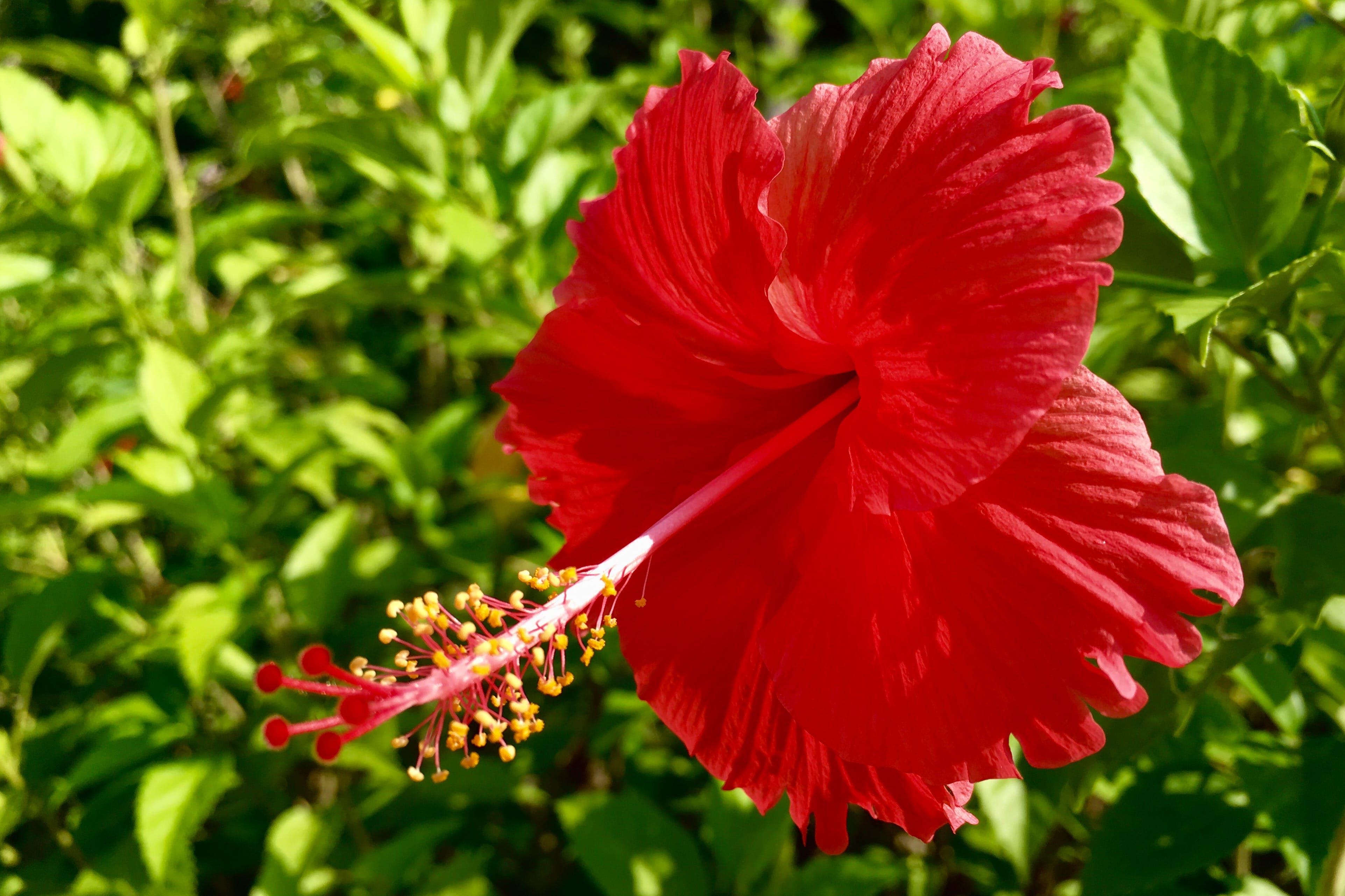 Free stock photo of flower, Hibiscus, nature