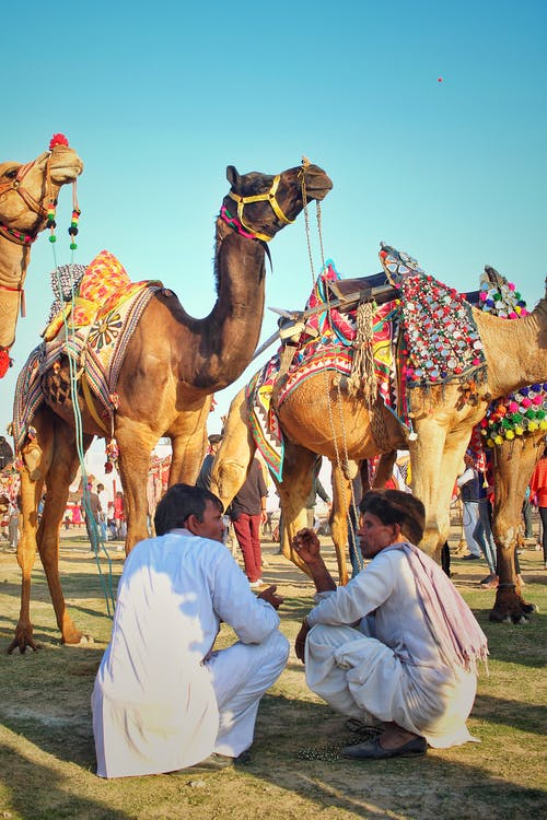 Two Men Sitting In Front Of Camels