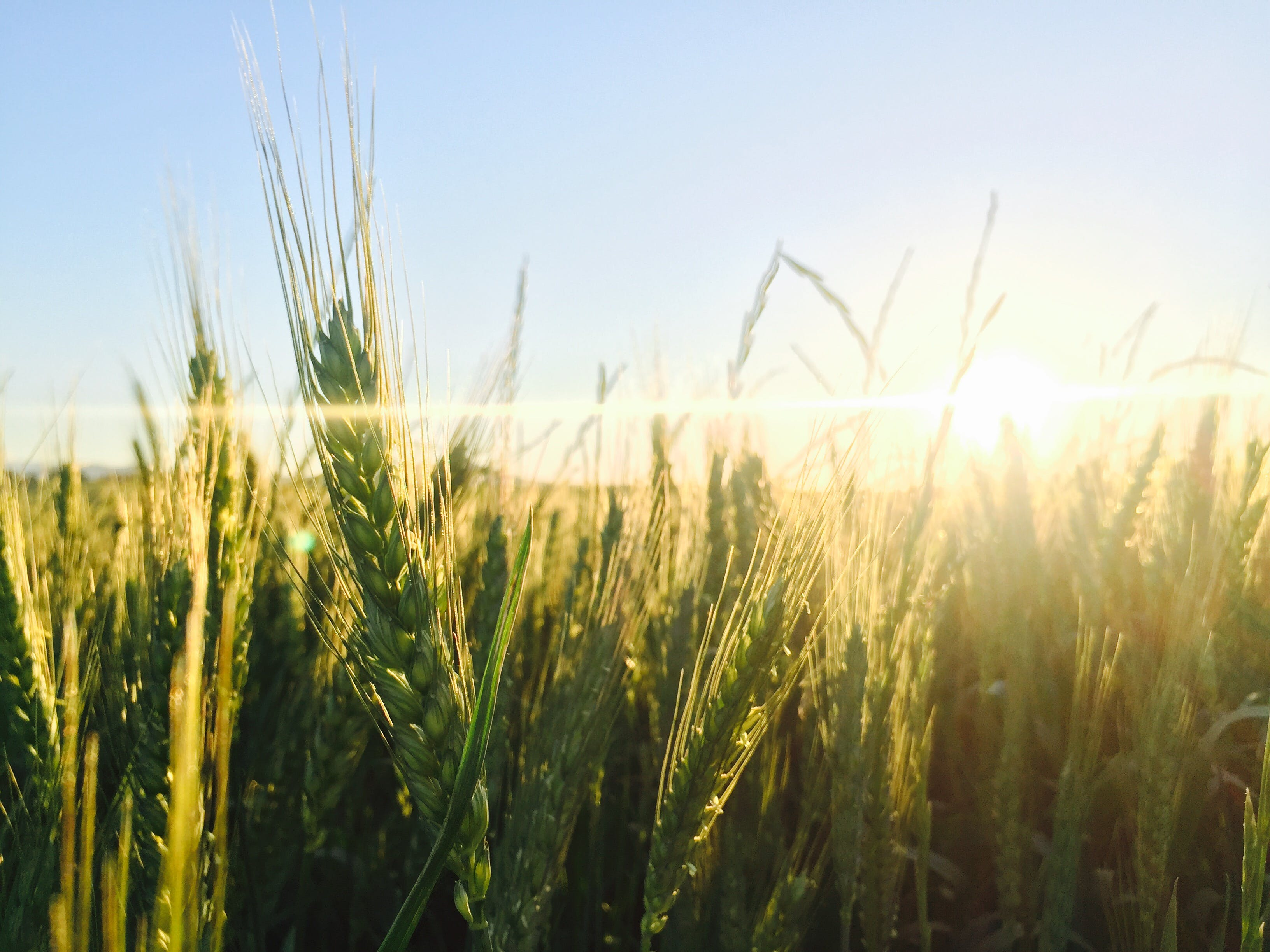 Free stock photo of sunset, agriculture, green, wheat