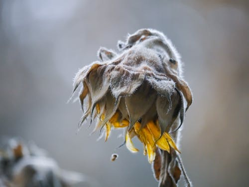 Free stock photo of frost, sunflower, winter