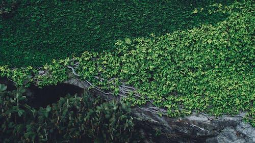 Základová fotografie zdarma na téma břečťan, denní světlo, dřevo, kořeny