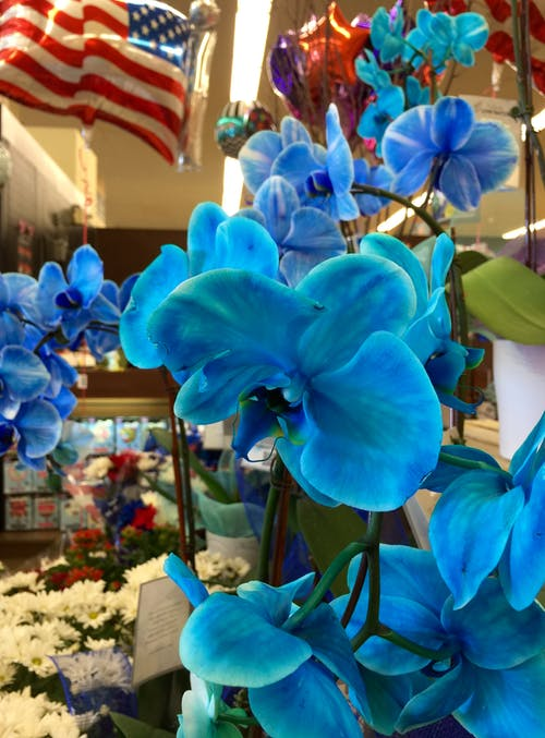 Free stock photo of bloom, blossom, blue, blue flowers