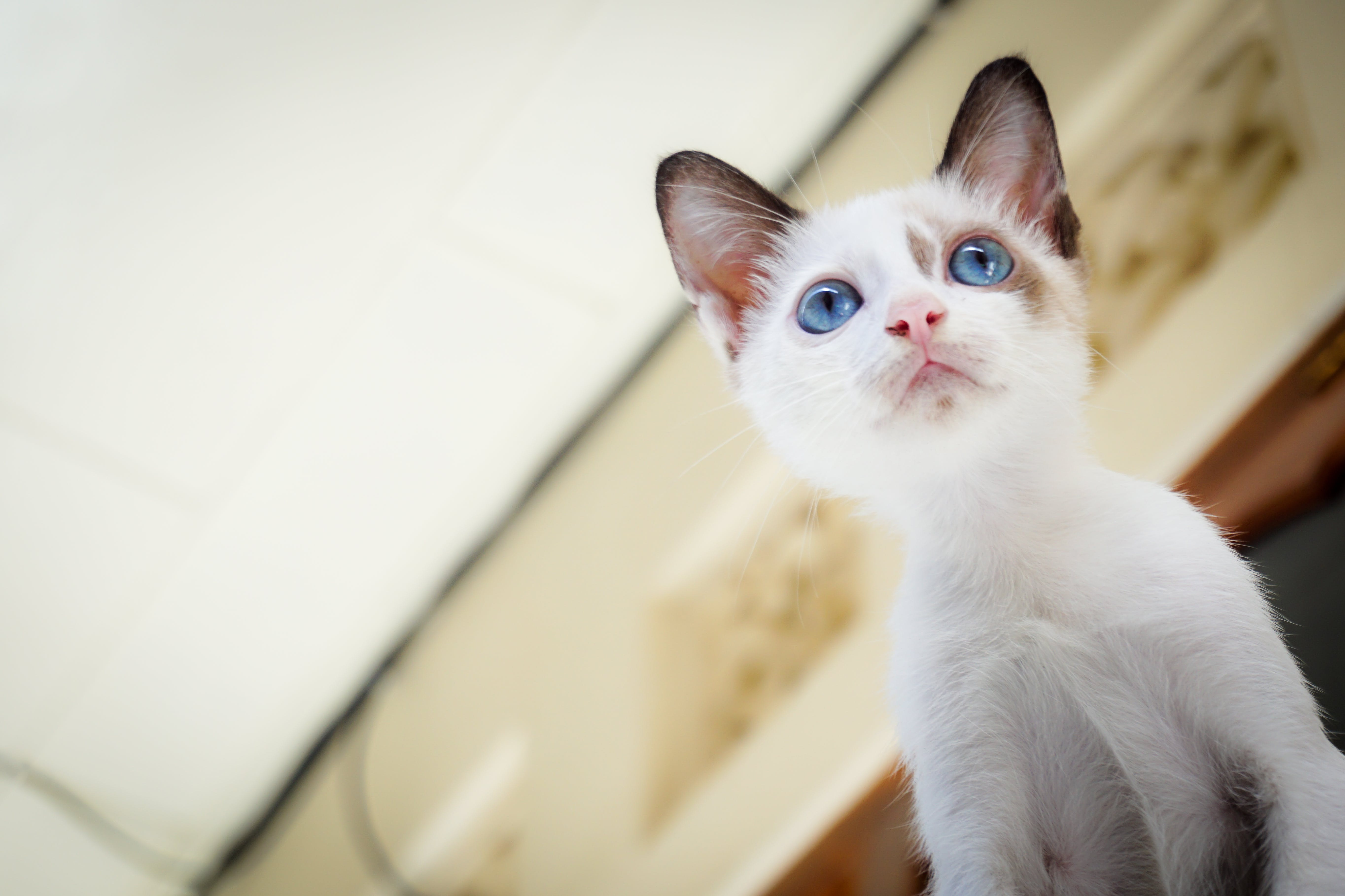 White Short Fur Kitten With Blue Eyes