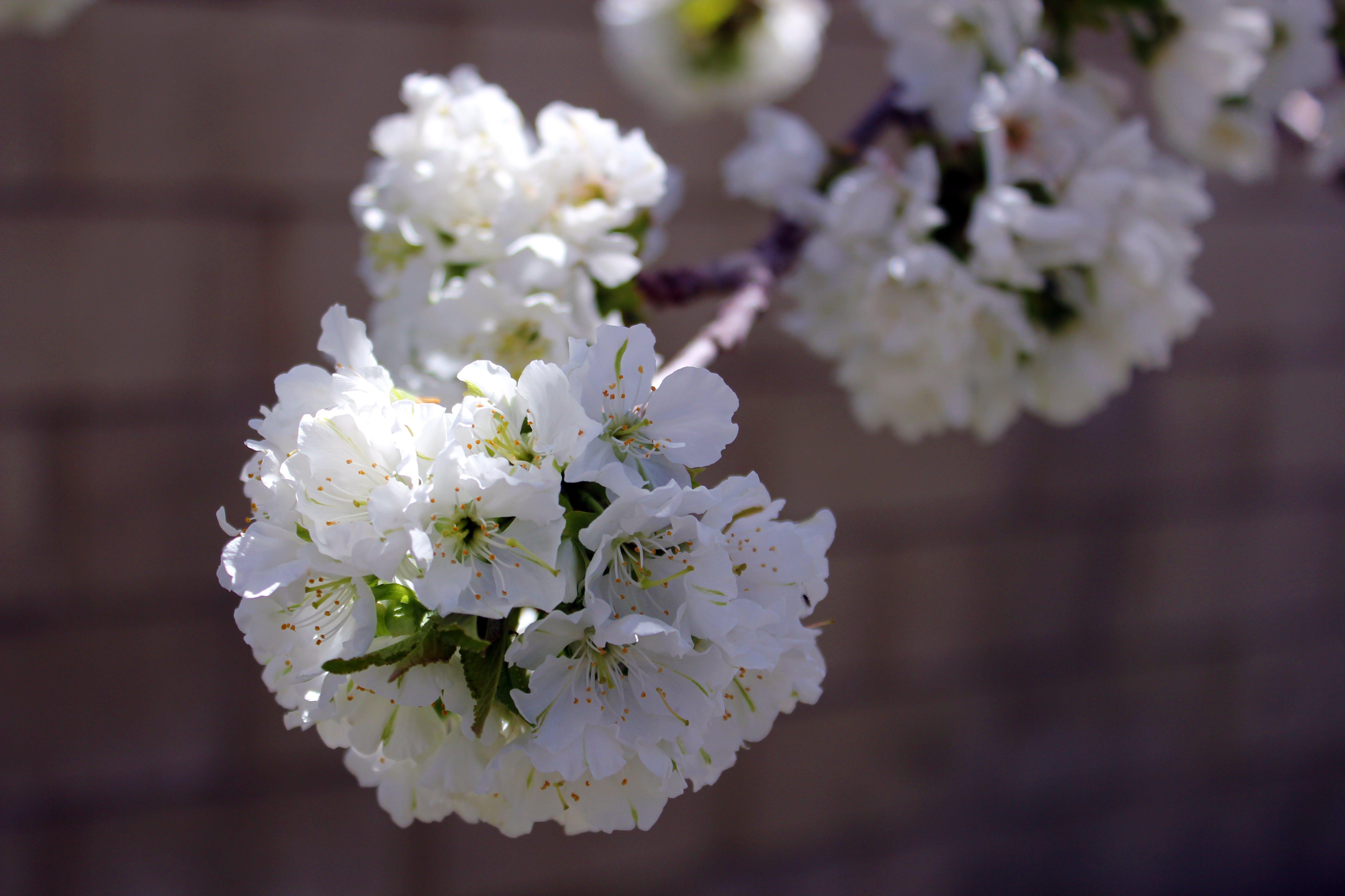 Free stock photo of cherry blossom, white blossom, white flower