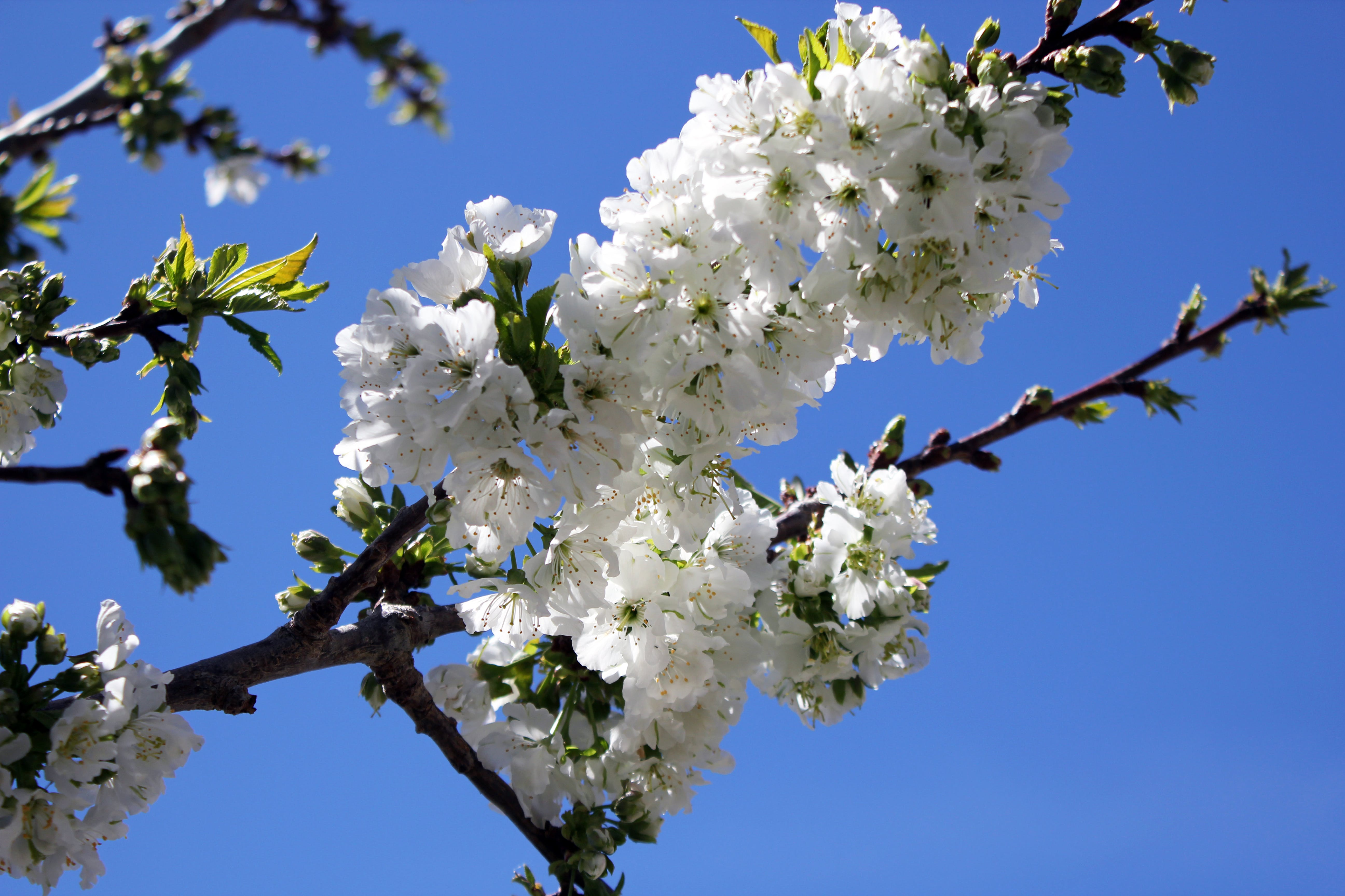 Free stock photo of cherry blossom, white blossom, white flowers