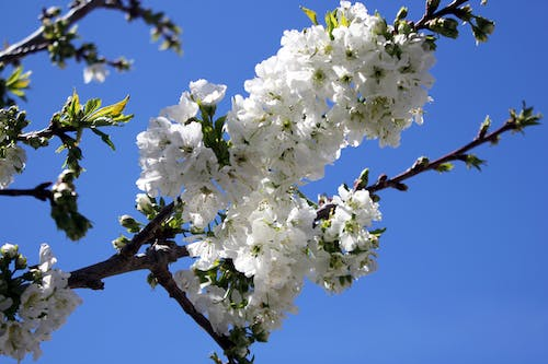 Free stock photo of cherry blossom, white blossom