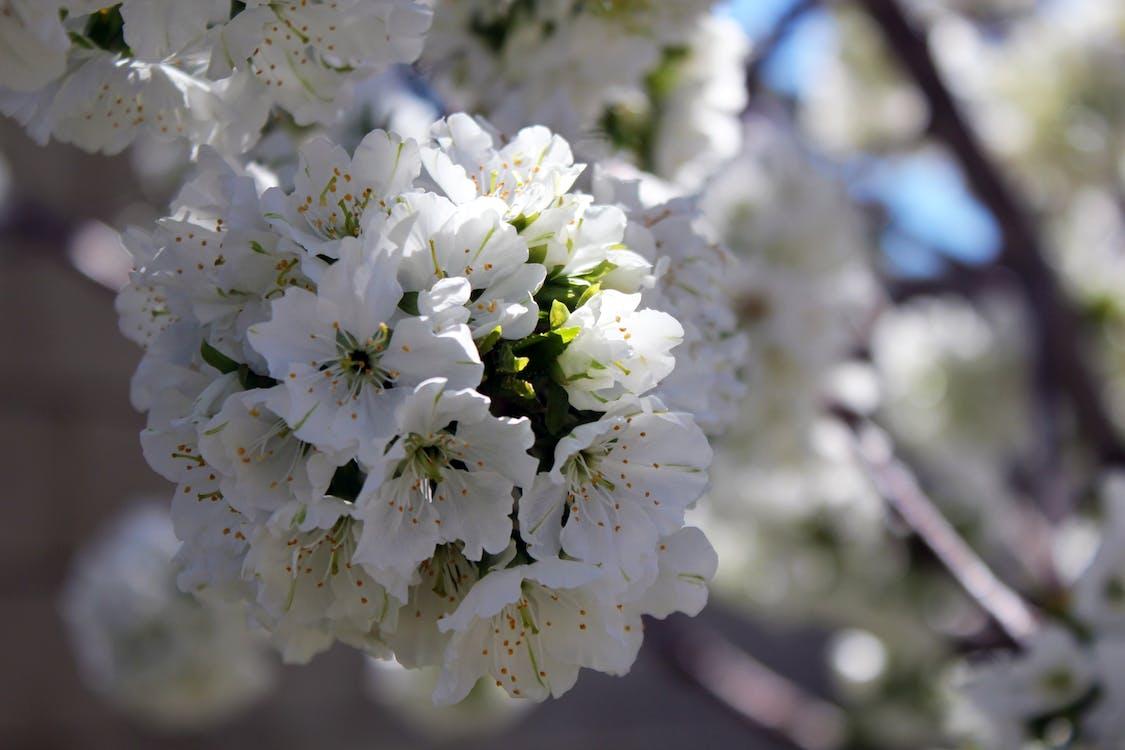 άνθος κερασιάς, λευκό άνθος