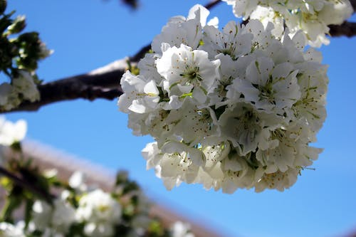 Free stock photo of cherry blossoms, white blossom