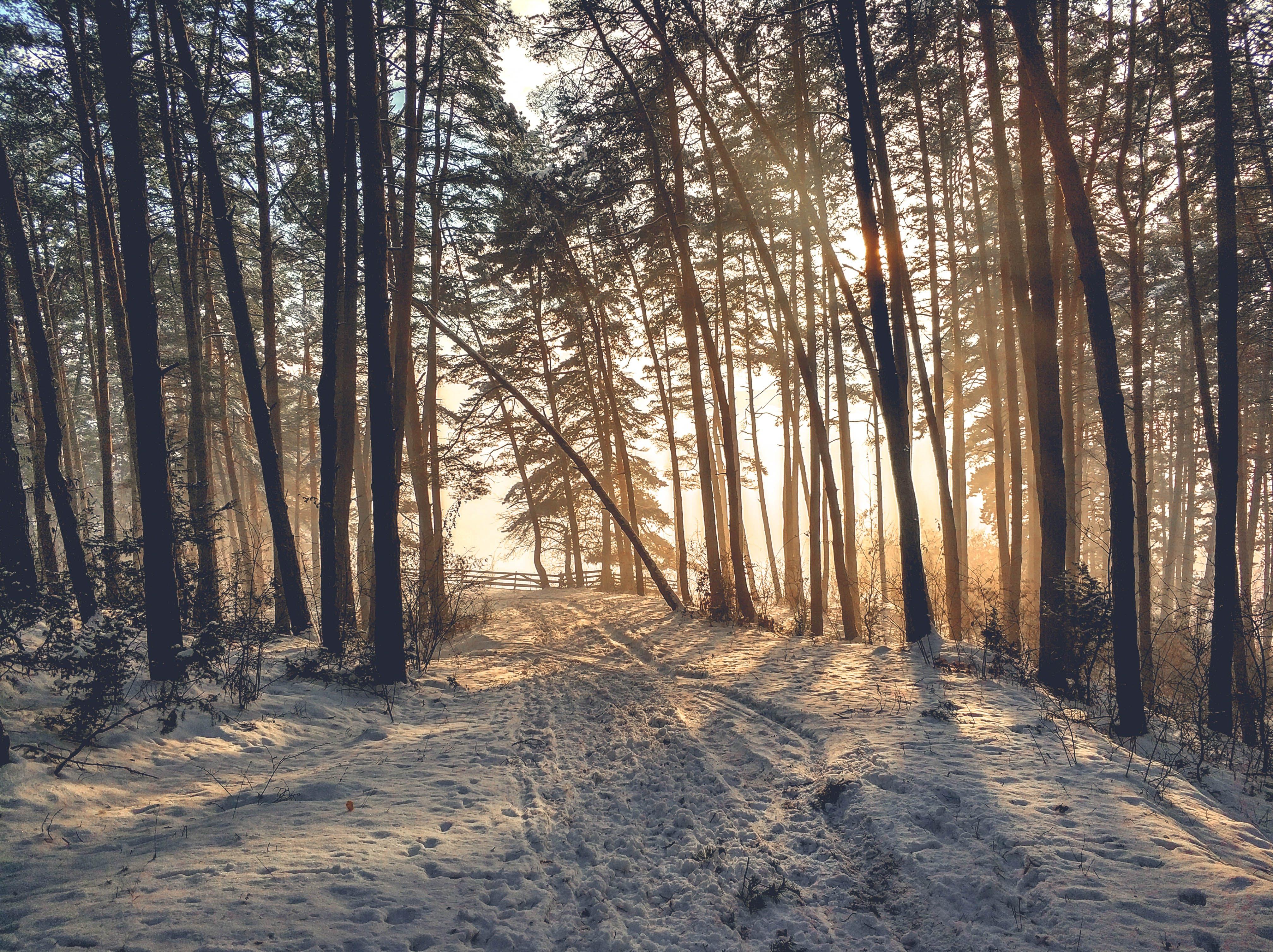 Immagine gratuita di alberi, foresta, freddo, inverno