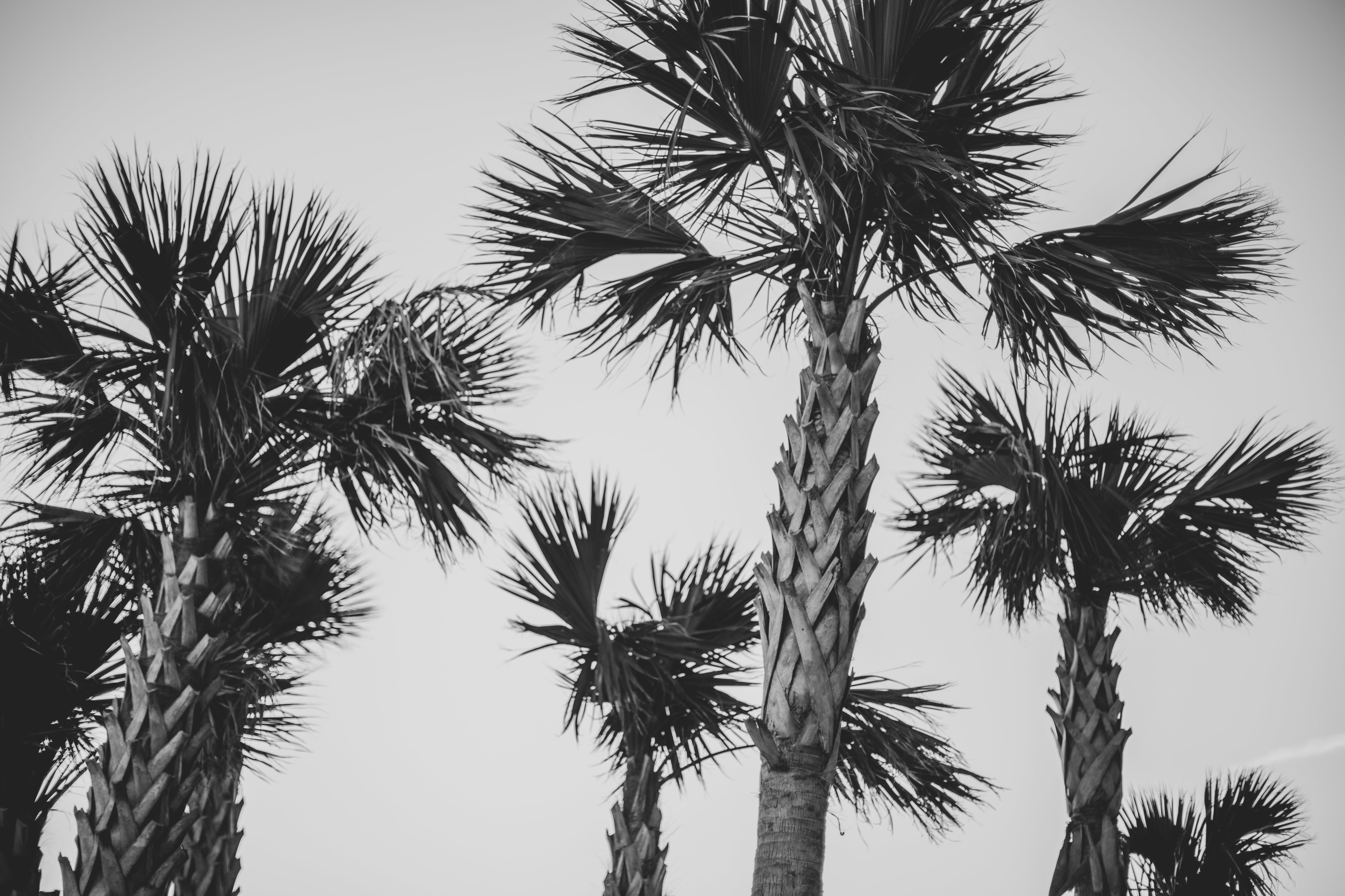 Free stock photo of palm trees