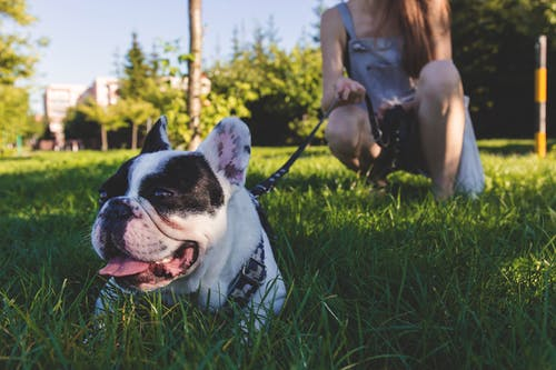 Black and White French Bulldog Lying on Green Grass
