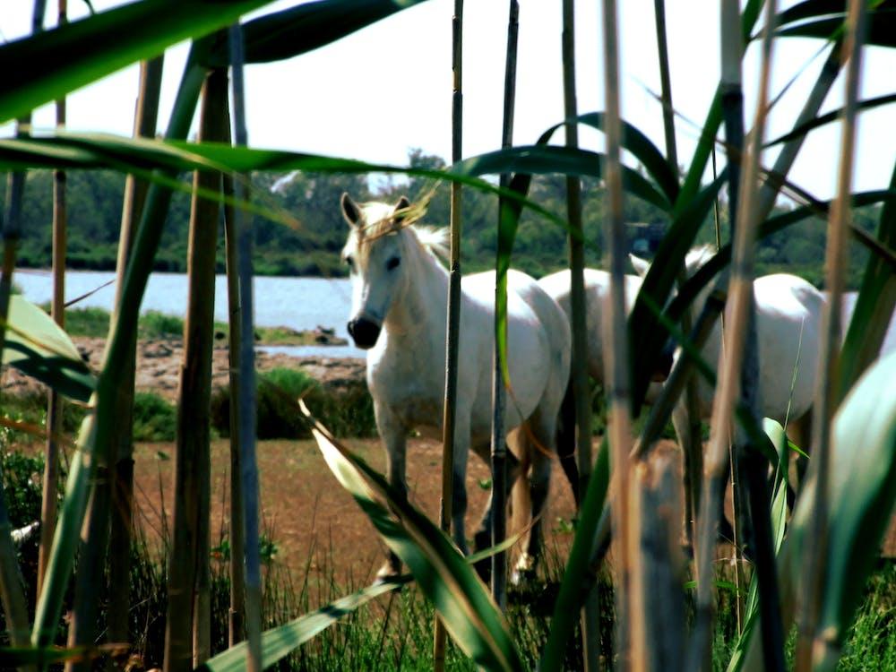 camargue, Franciaország, ló