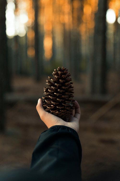 Photo of Person Holding Pine Cone