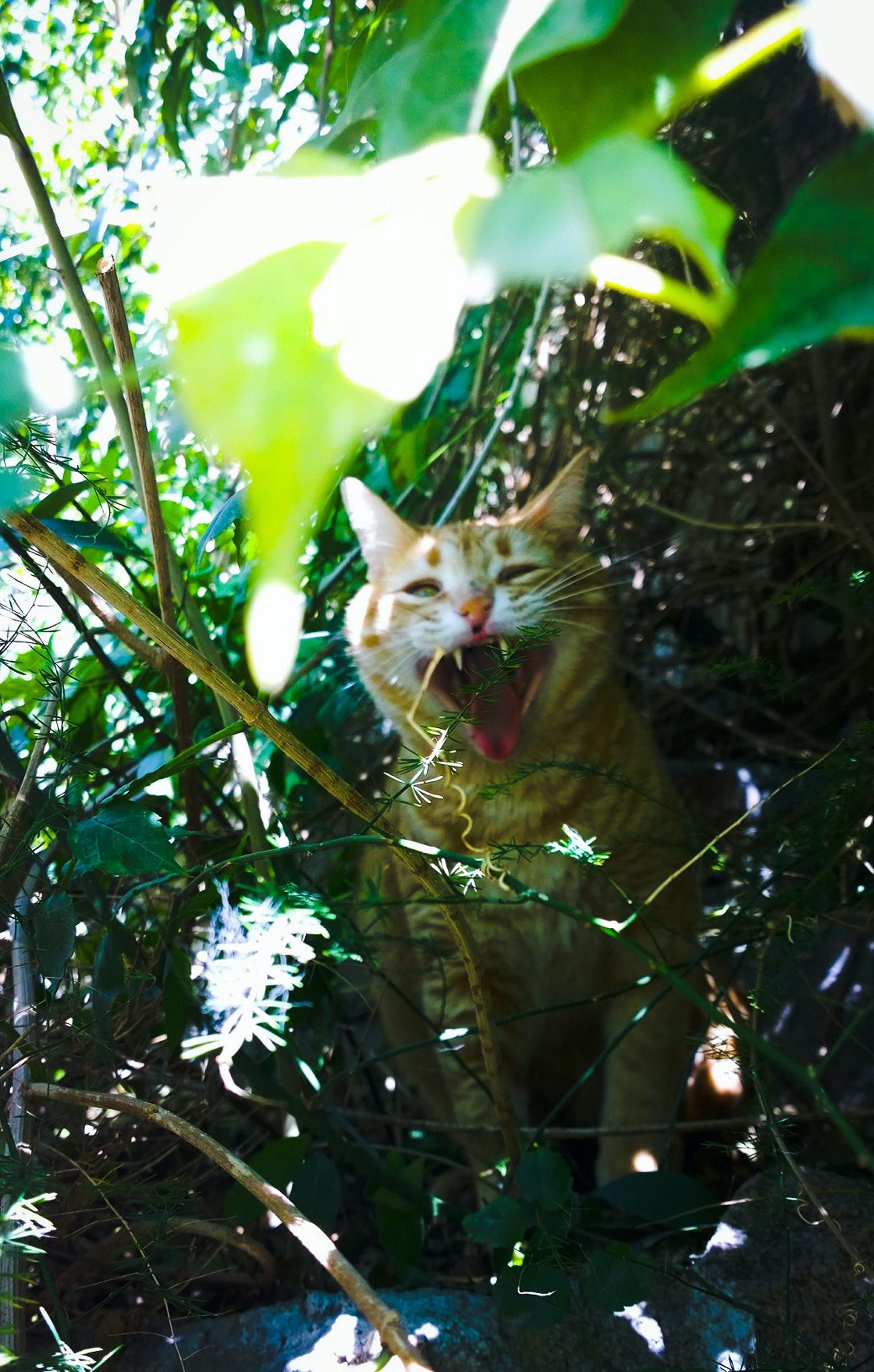 Δωρεάν στοκ φωτογραφιών με άγριος, Γάτα, κατοικίδιο, λιοντάρι