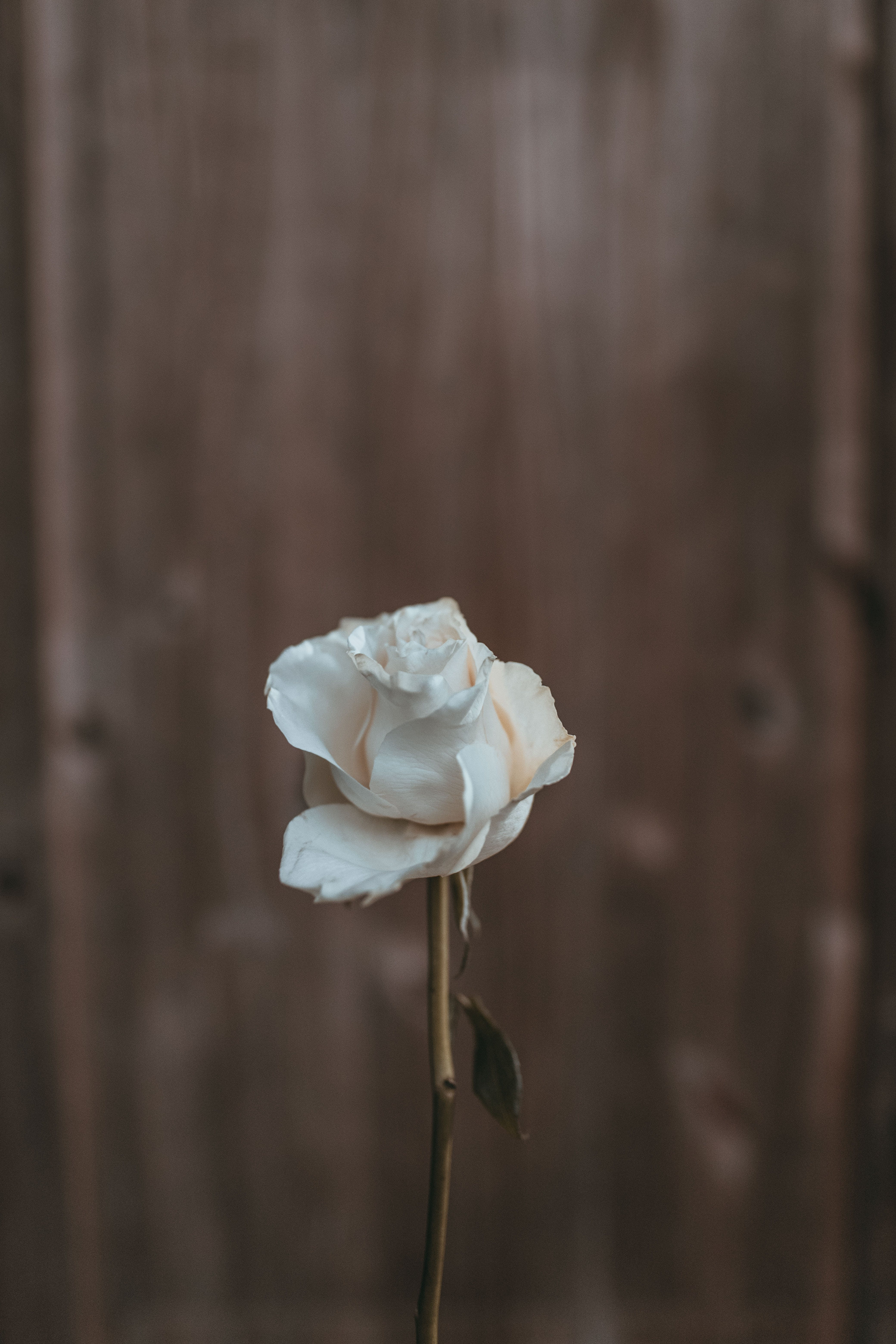 Close Up Photography of White Rose