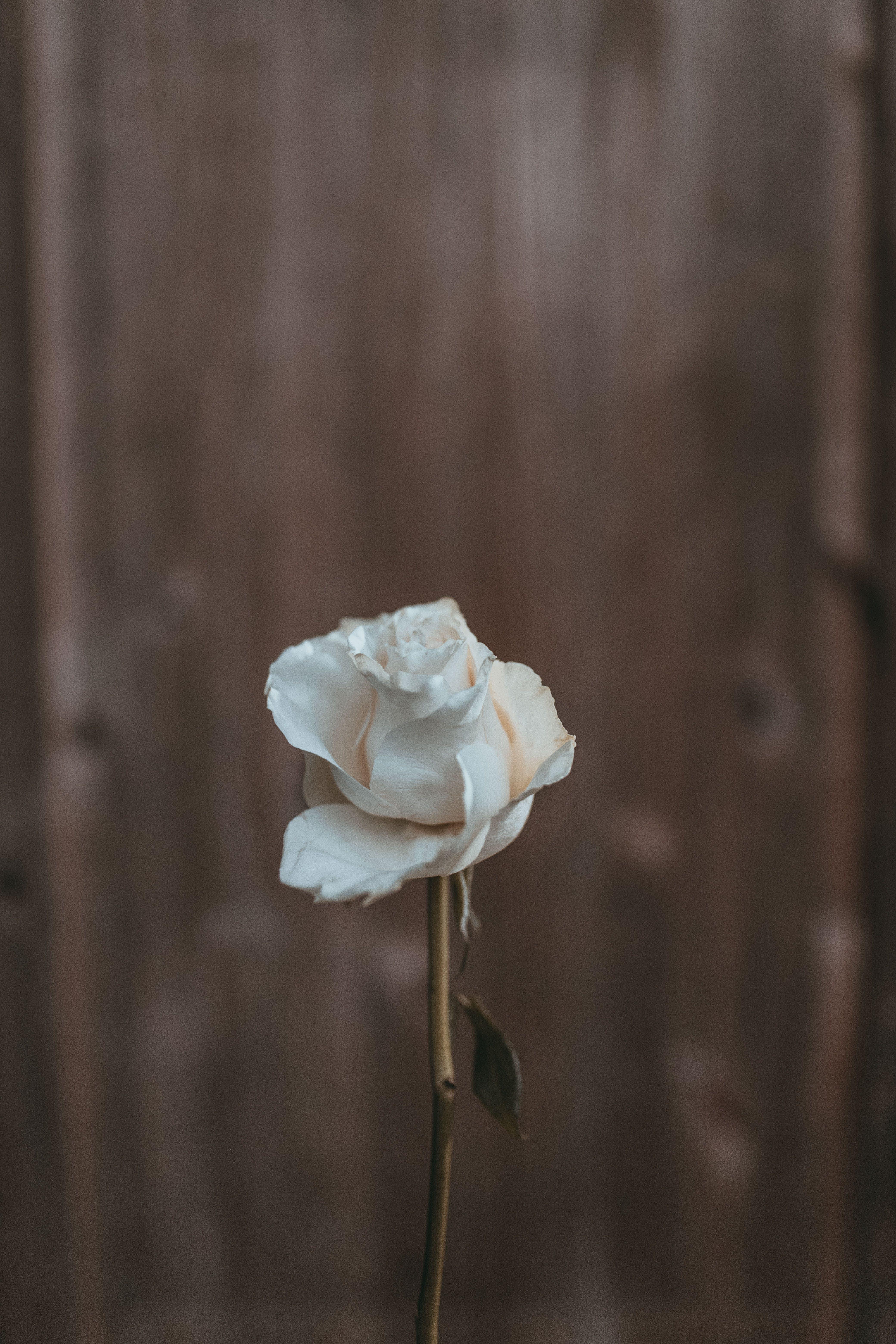 Ingyenes stockfotó fehér, növényvilág, rózsa, szép témában