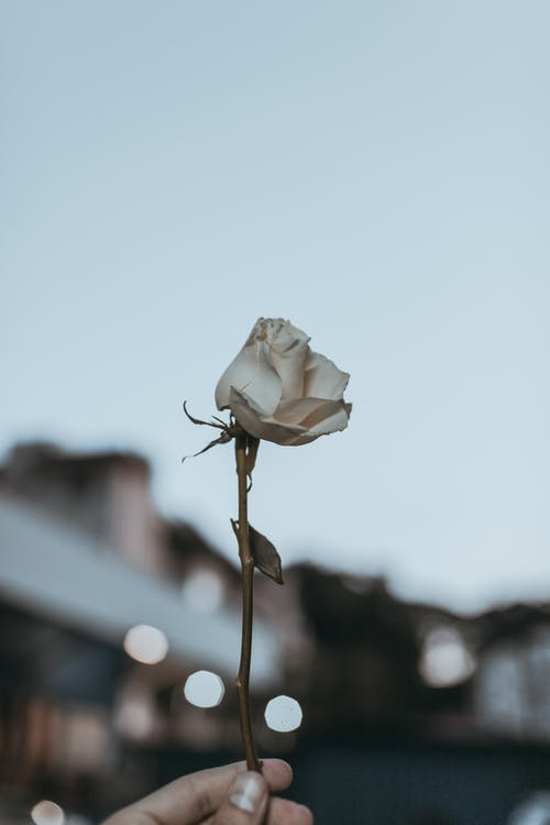 Photo of Person Holding White Rose Flower
