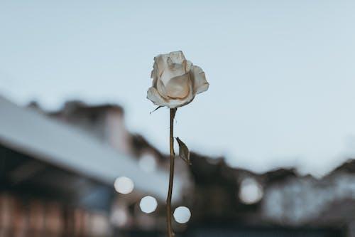 bitki, bitki örtüsü, Çiçek açmak, gül içeren Ücretsiz stok fotoğraf