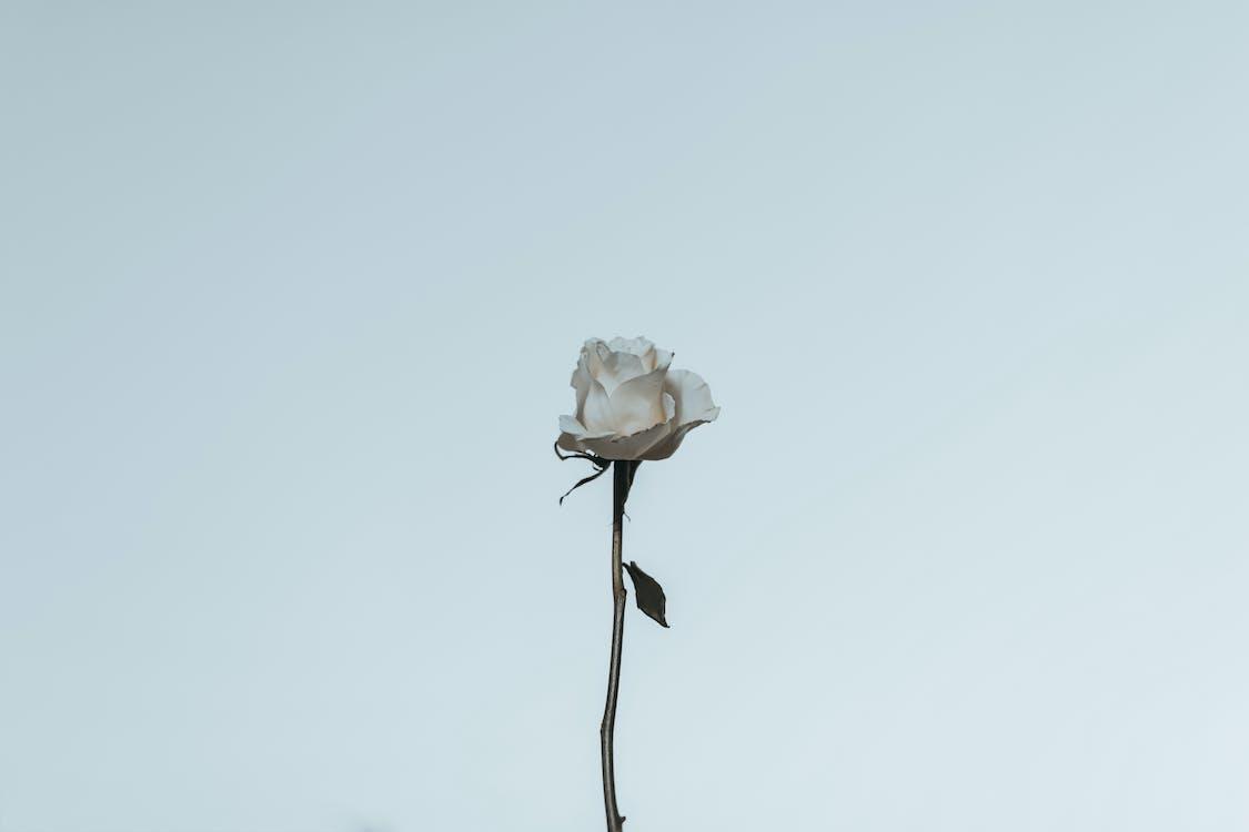 biała róża, flora, kwiat