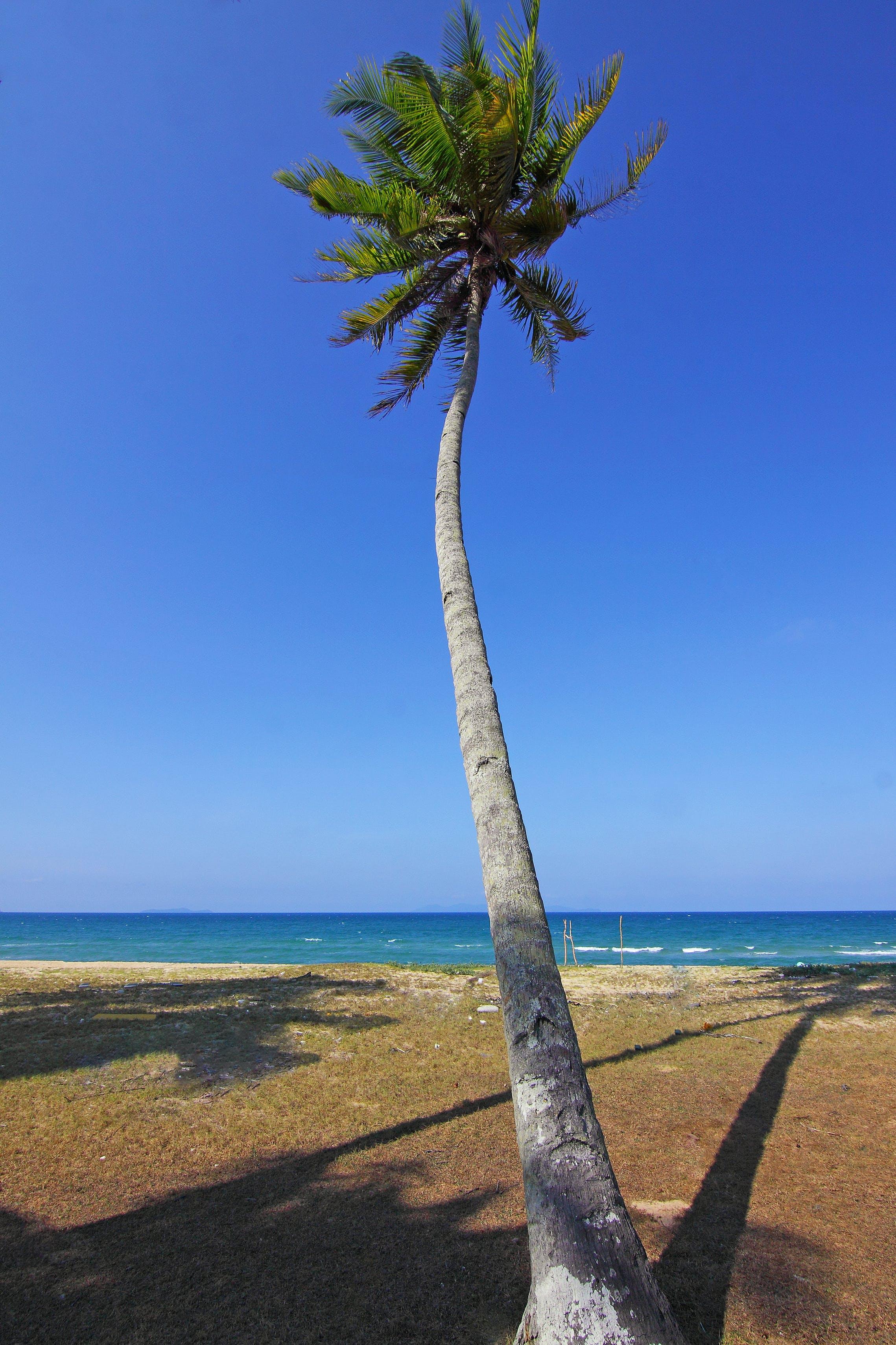 Coconut Tree Near Ocean during