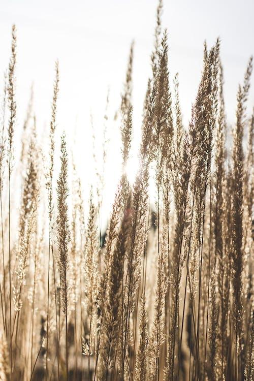 arazi, bitki, buğday çimeni