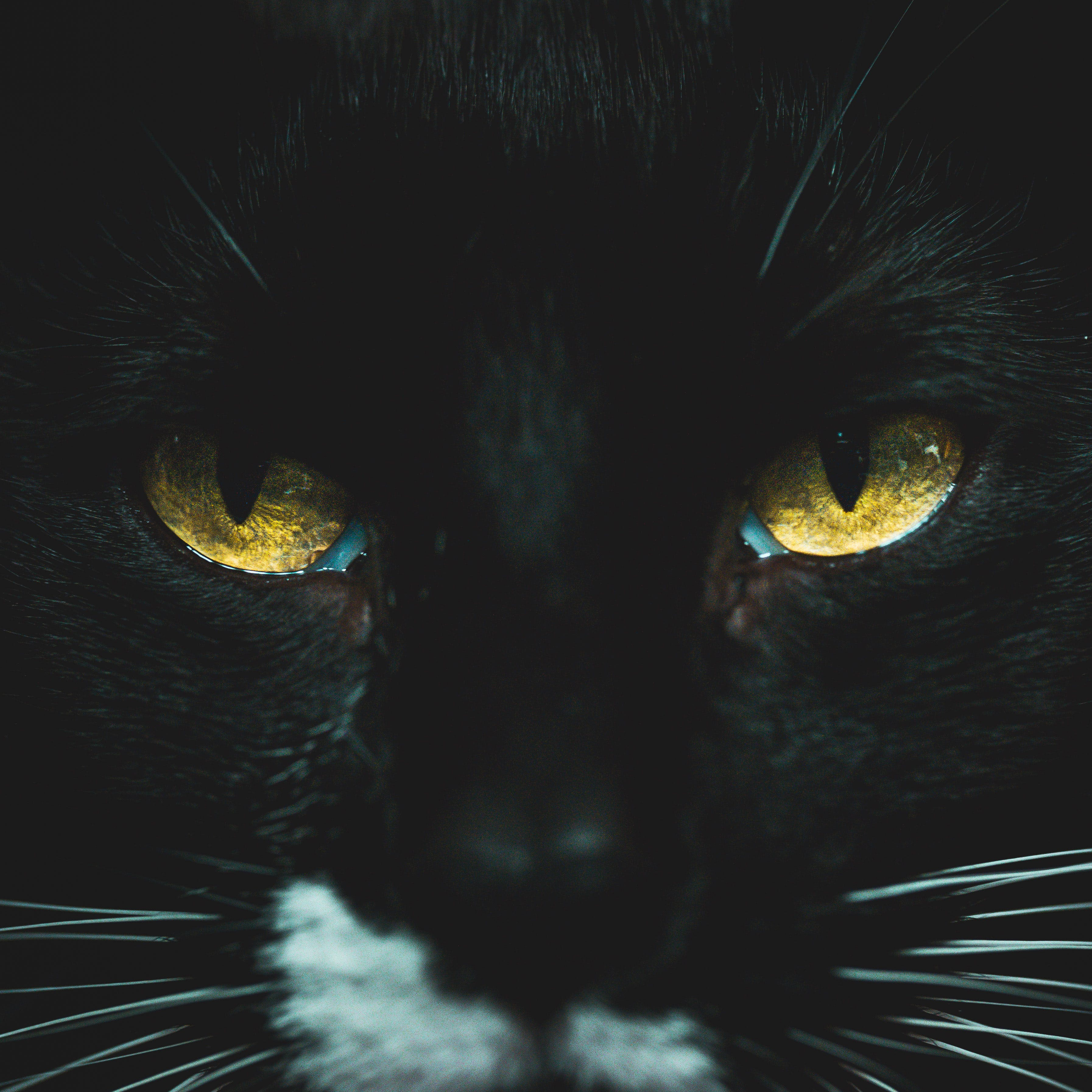 Close-Up Photo Of Black Cat