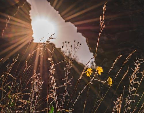 Ilmainen kuvapankkikuva tunnisteilla aurinko, kasvit, kultainen aurinko, luonto
