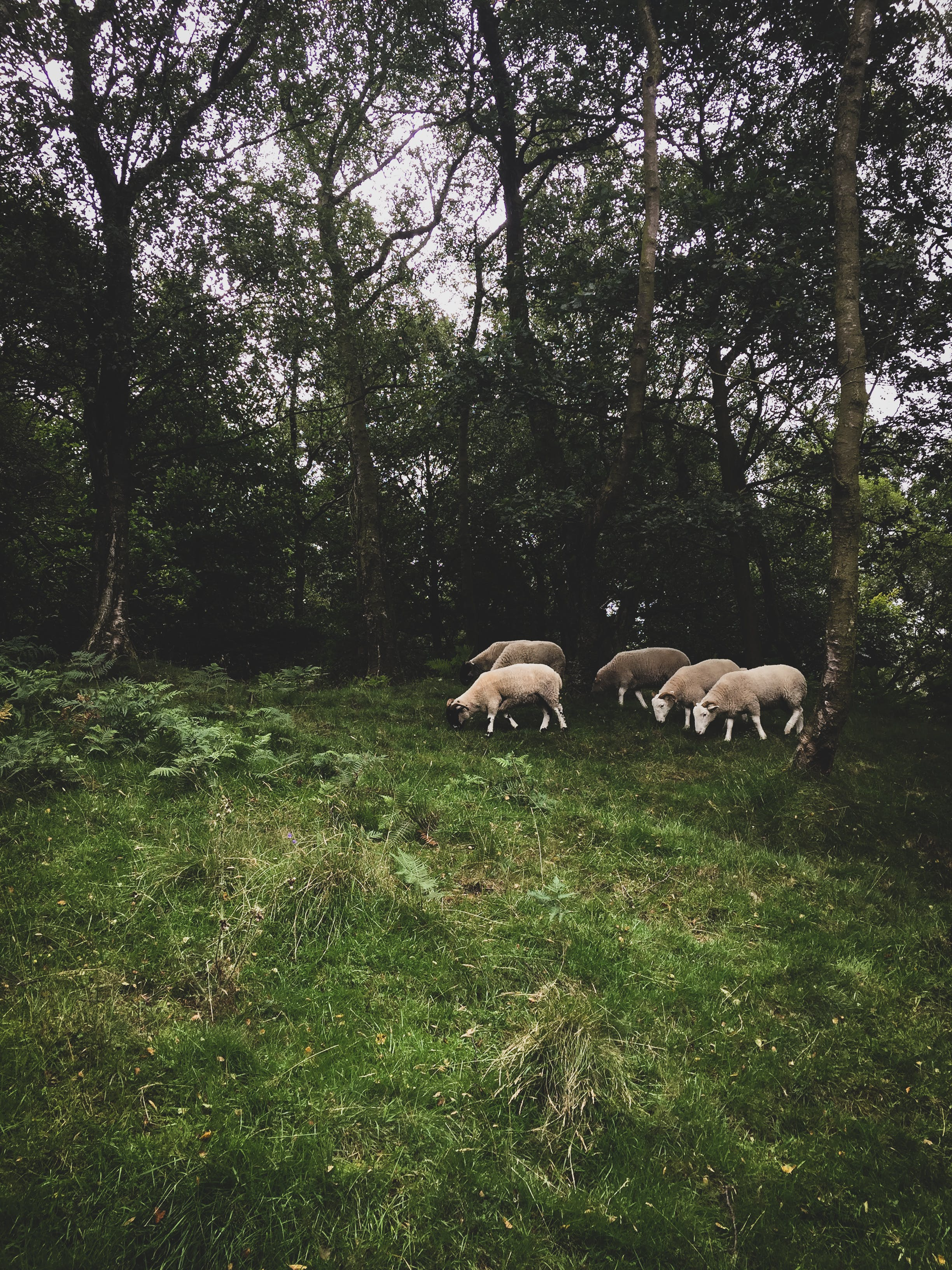 Herd of Sheep Next to Trees