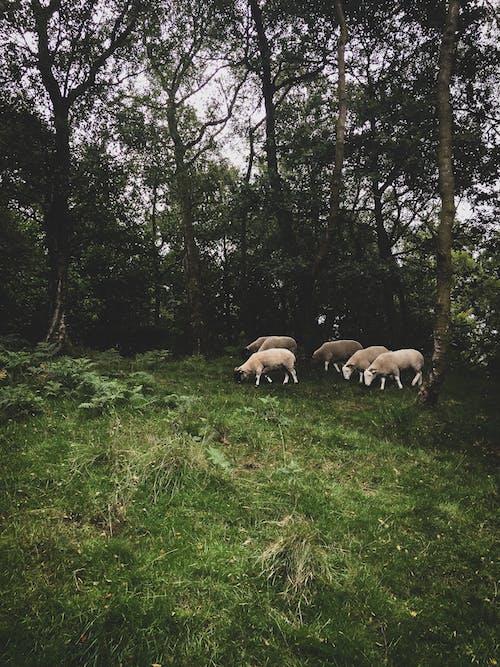 açık hava, ağaçlar, arazi, büyükbaş hayvan sürüsü içeren Ücretsiz stok fotoğraf