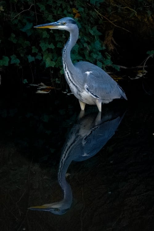 Grey Heron Reflection on Body of Water