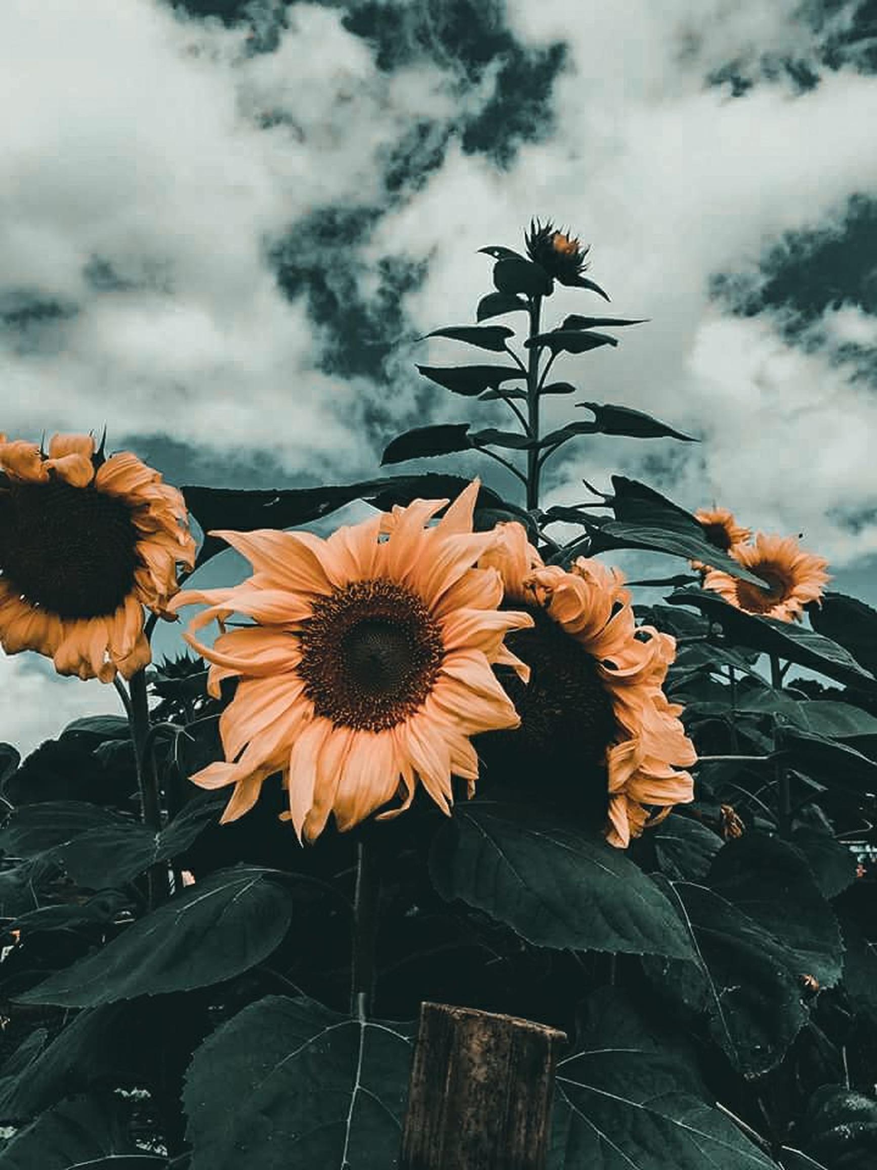 Bunga Matahari · Foto Stok Gratis