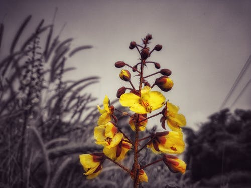 Free stock photo of Yellow flower in monochrome background