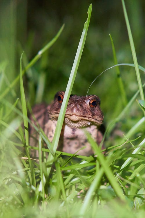 Free stock photo of frog, grass, night, Taiwan common toad