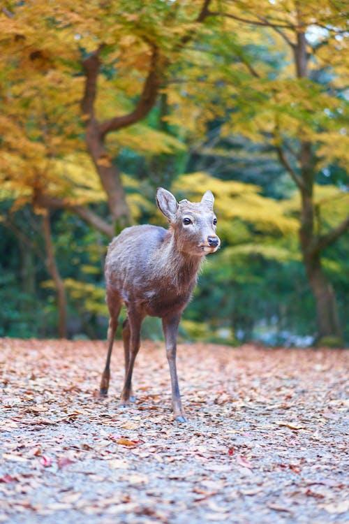 Kostnadsfri bild av däggdjur, djur, hjort, japan