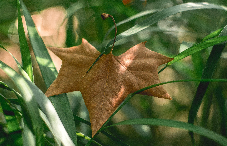 Big leaf, dry leaf, green