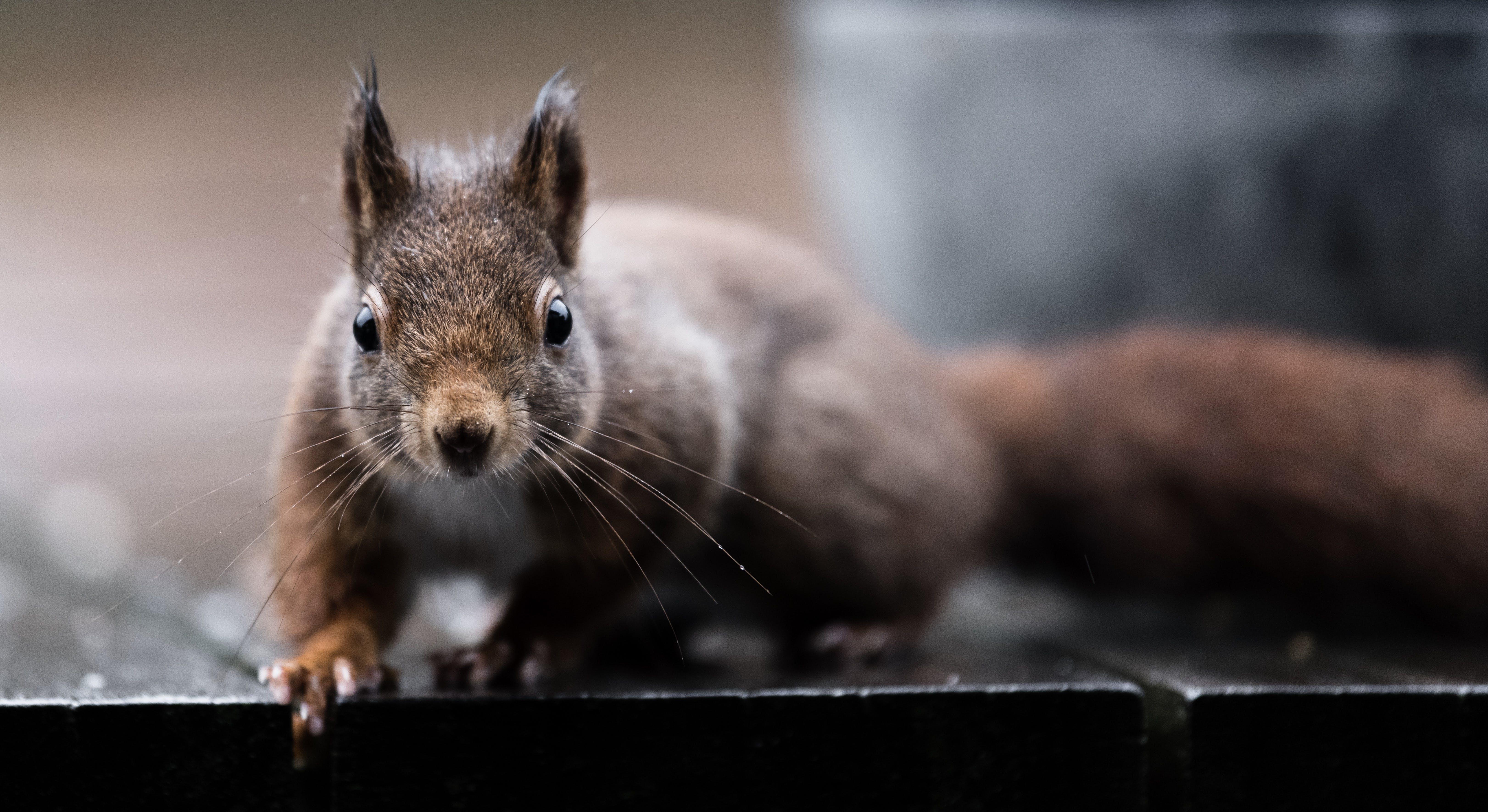 Δωρεάν στοκ φωτογραφιών με σκίουρος στη βροχή