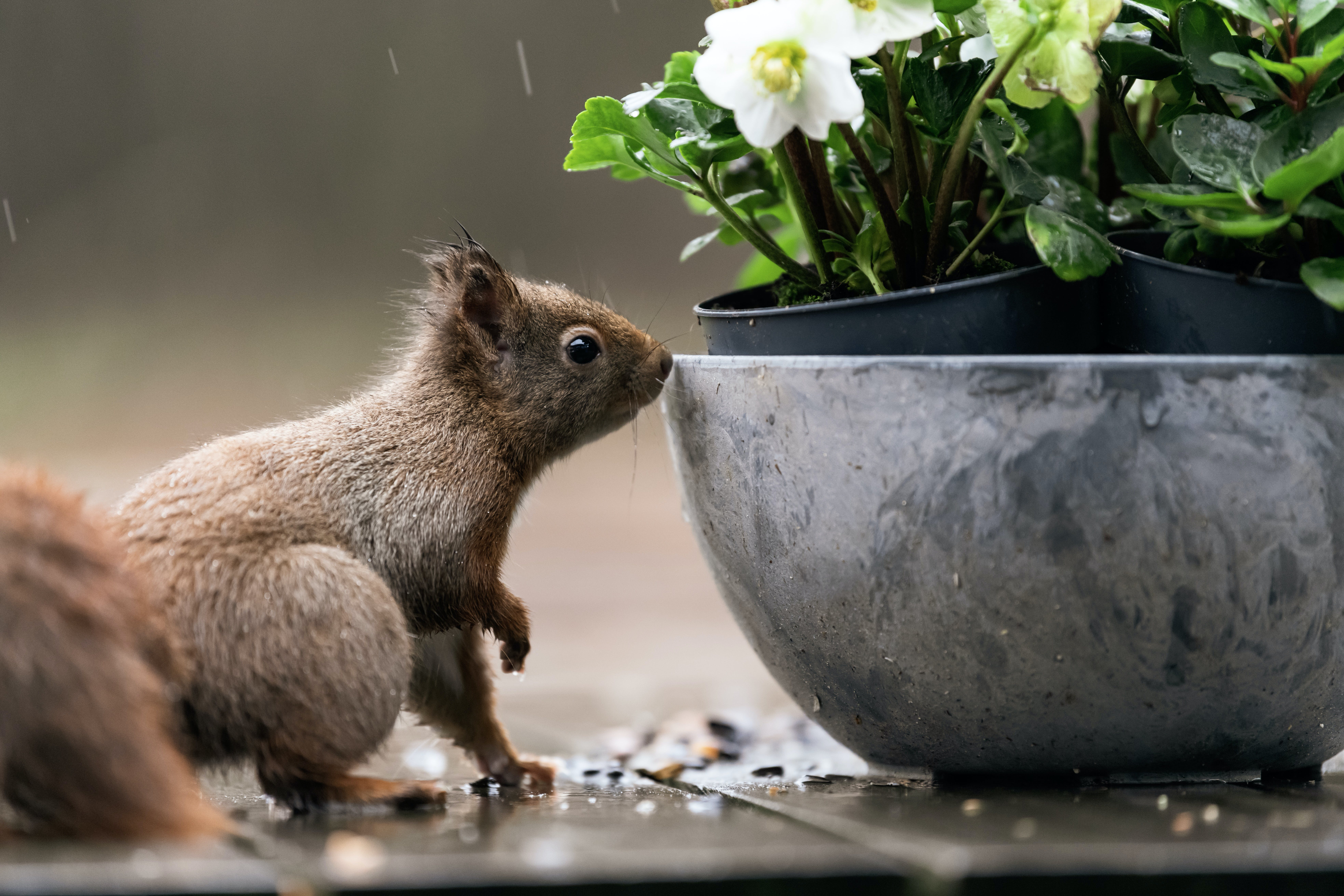 Squirrel Beside Gray Flowerpot