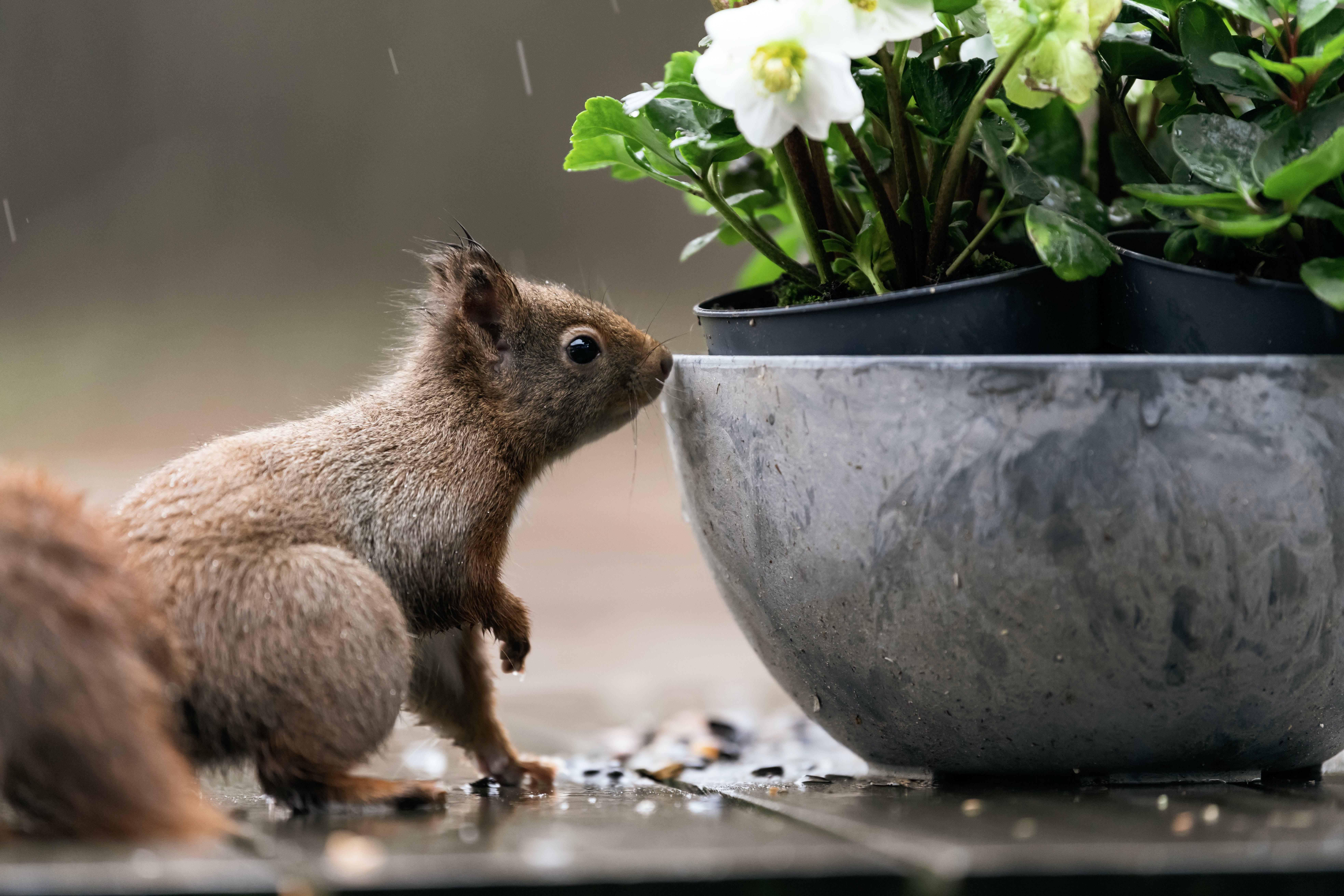 Squirrel Beside Gray Flowerpot