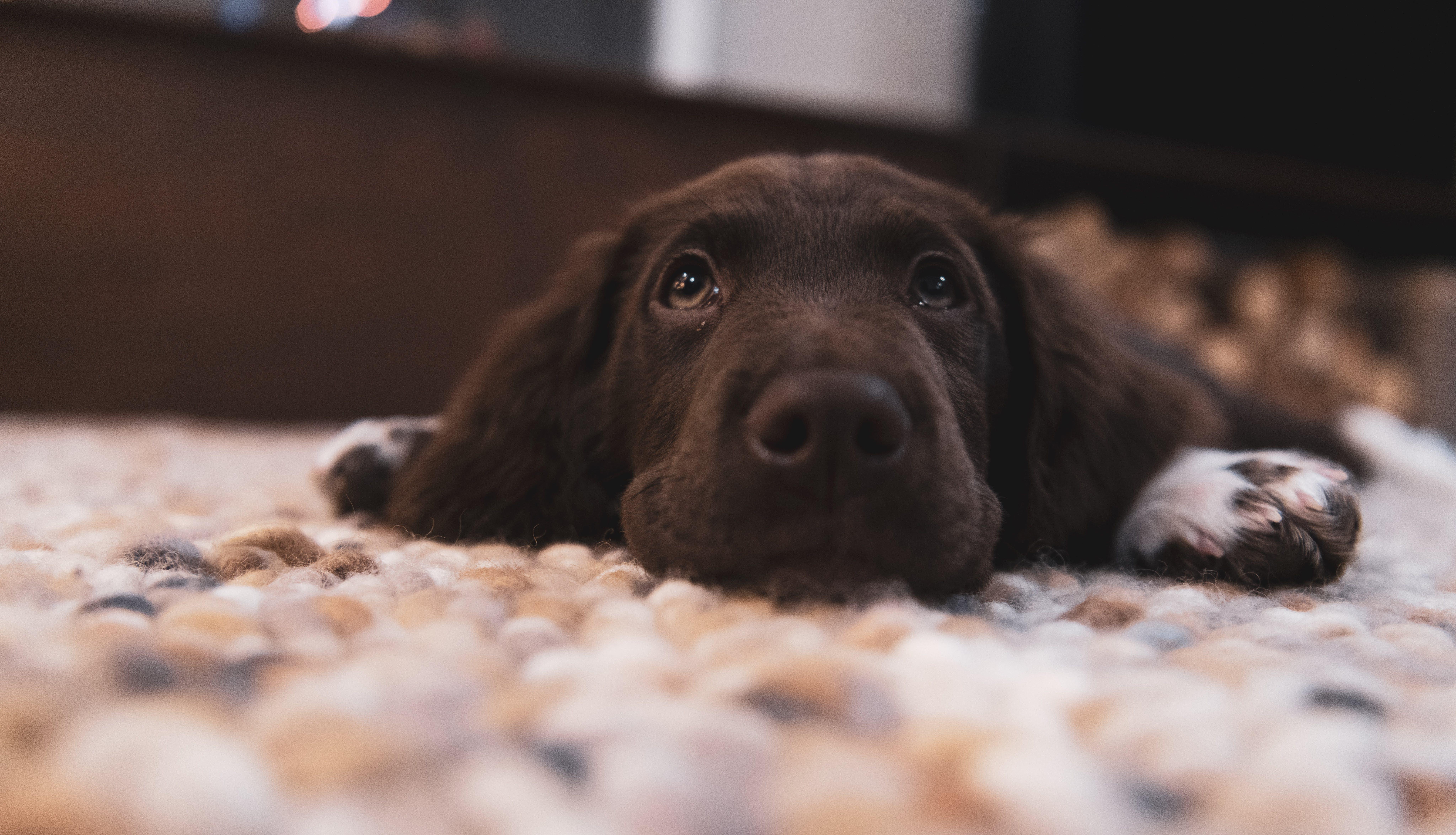 Chocolate Labrador Retriever Puppy on Floor