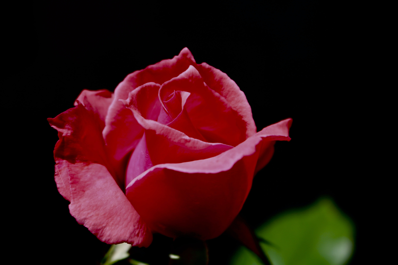 Free stock photo of rose flower