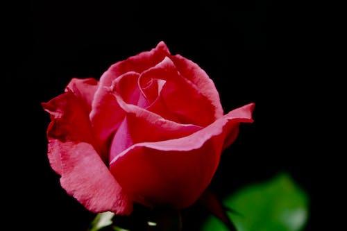 玫瑰花 的 免费素材照片