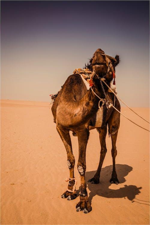 Kostenloses Stock Foto zu arabian kamel, draußen, fotografie, kamel