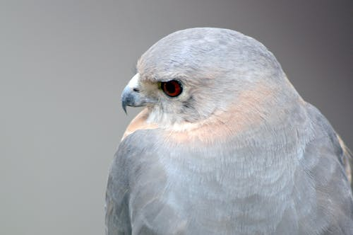 Immagine gratuita di aquila, aquilone, bel uccello, cacciatore