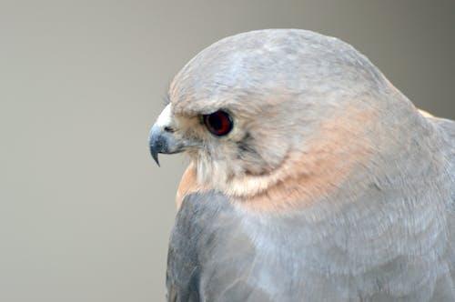 Immagine gratuita di adorabile, aquila, aquilone, aquilone degli uccelli