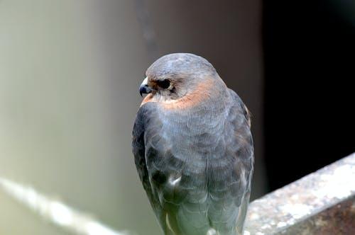 Immagine gratuita di aquilone, aquilone degli uccelli, cacciatore, occhi