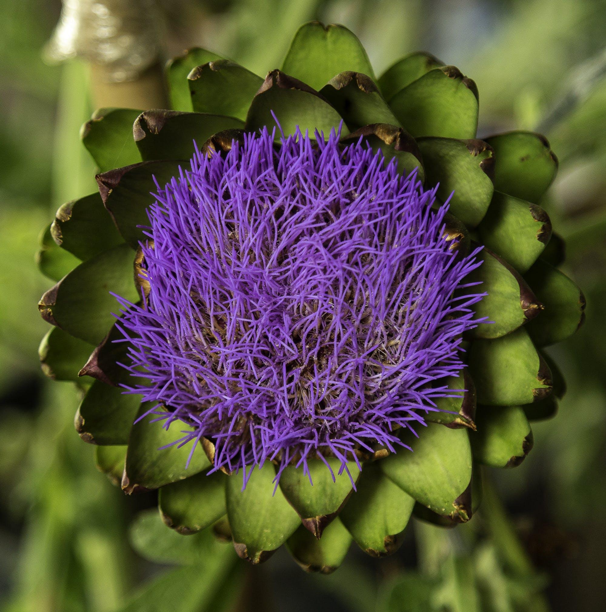 Fotos de stock gratuitas de flor de alcachofra