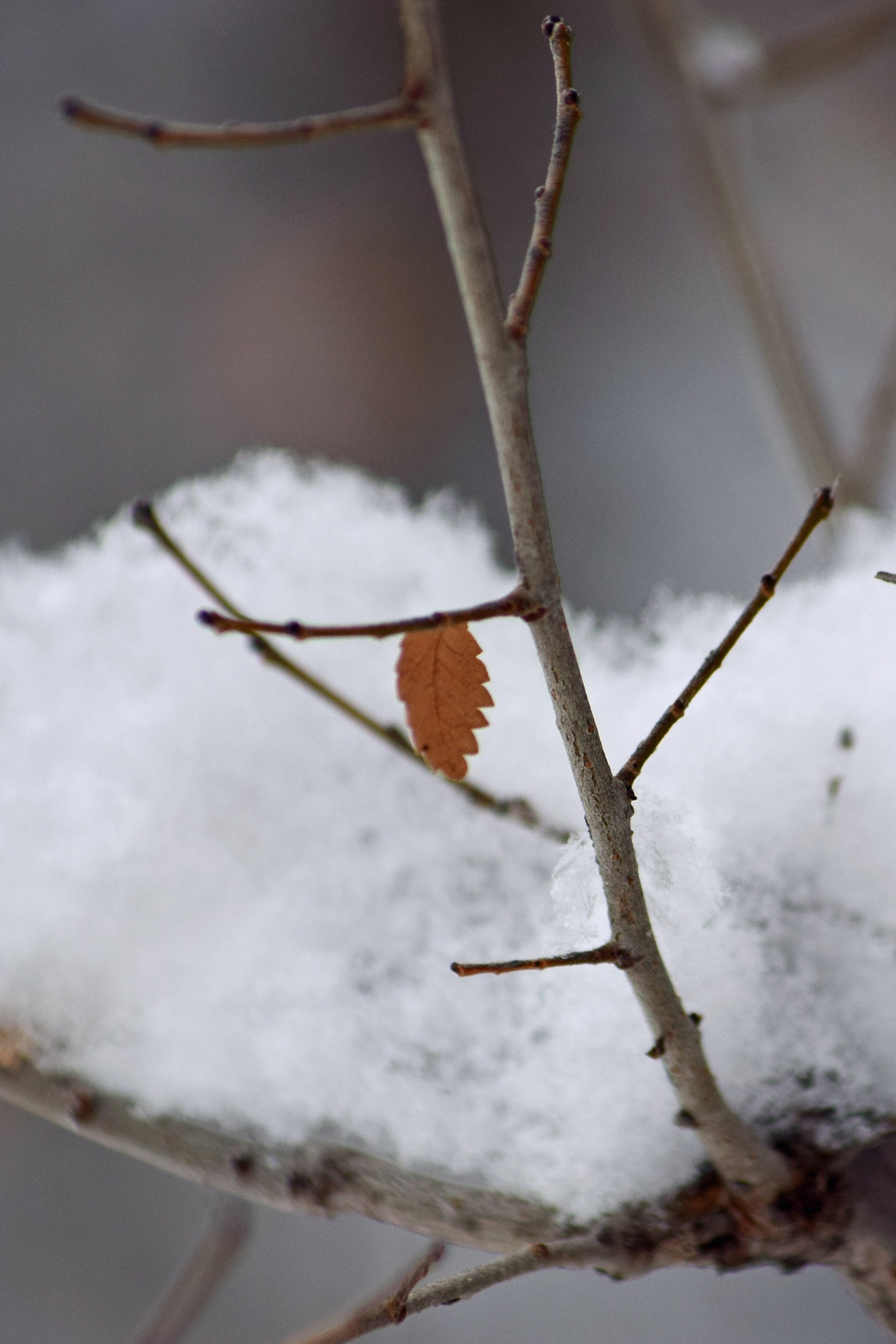 Free stock photo of branch, snow, twig, winter
