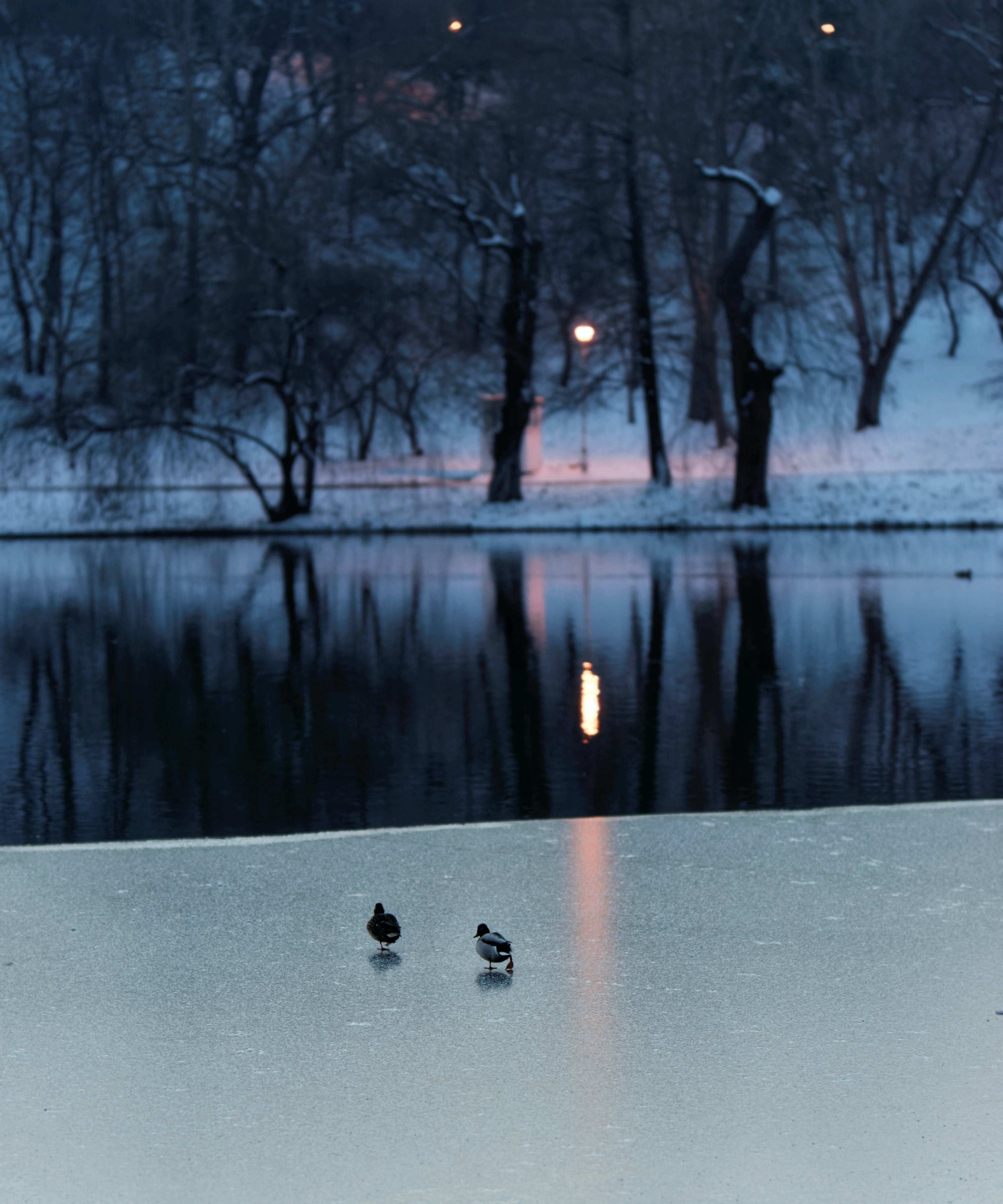 Free stock photo of body of water, branches, cold, ducks