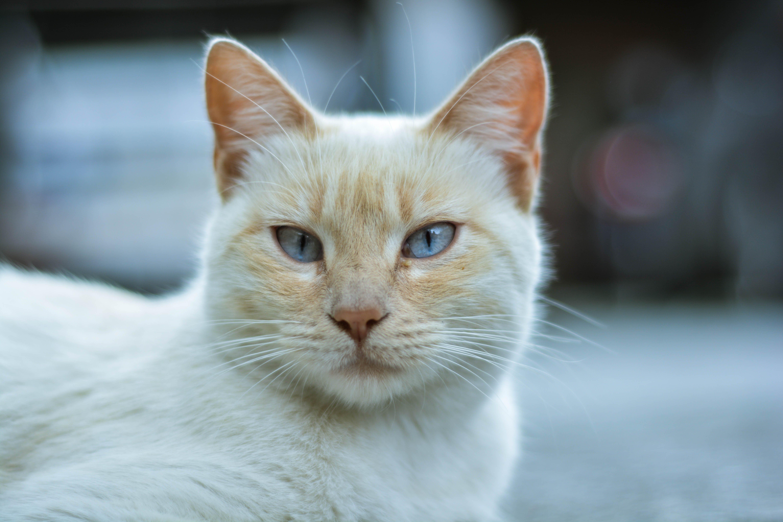 Closeup White and Orange Cat