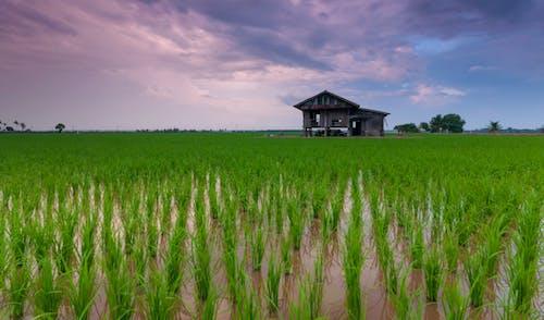 çeltik, çiftçi, dingin, dinlenmek içeren Ücretsiz stok fotoğraf